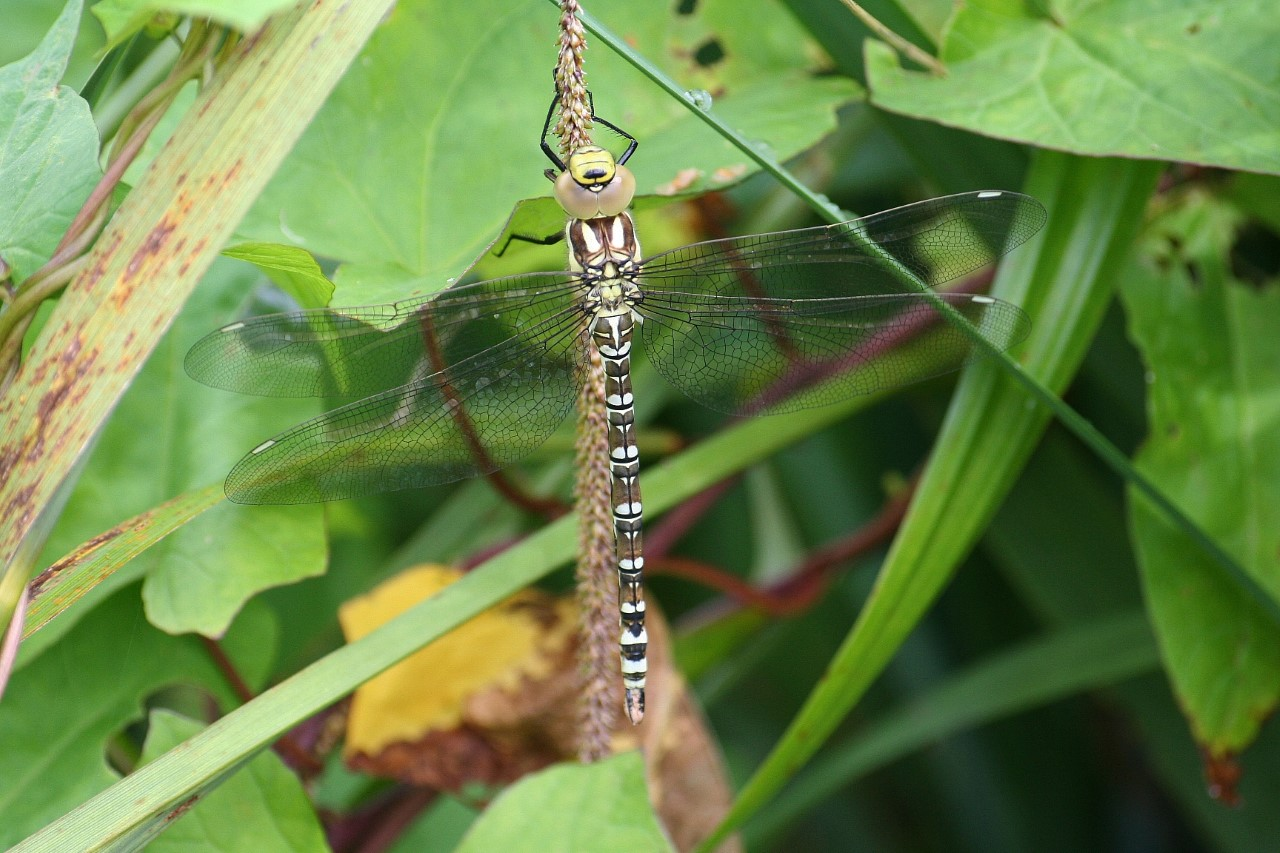 Close up of Southern Hawker Dragonfly